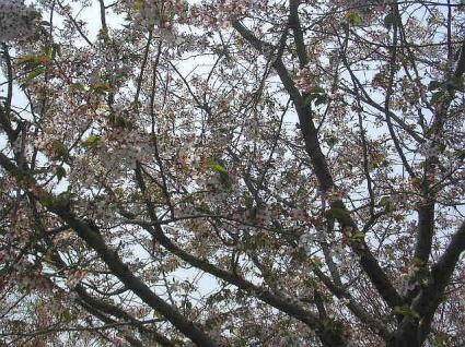 UNI-Jのお花見