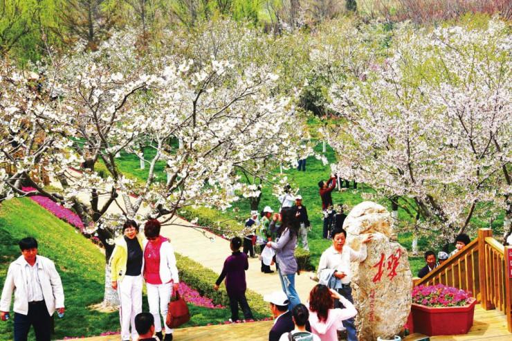 観光客でにぎわう「203桜園」(昨年)